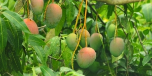 Mangoes in season
