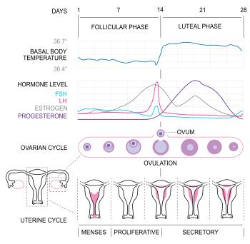 Mesntrual Cycle